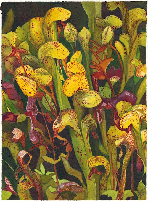 Darlingtonia Californica: watercolor painting by Joann Carrabbio