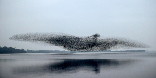 Starling Murmuration Over Lough Ennell: photograph by James Crombie