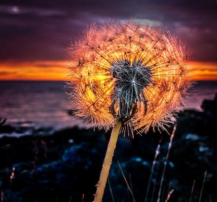 Glow-ball: Photograph of dandelion at sunset by Hallgrimur P. Helgason