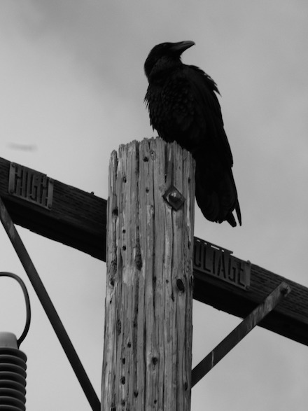 Morning Raven: Black and white photograph by Jonathan Yungkans